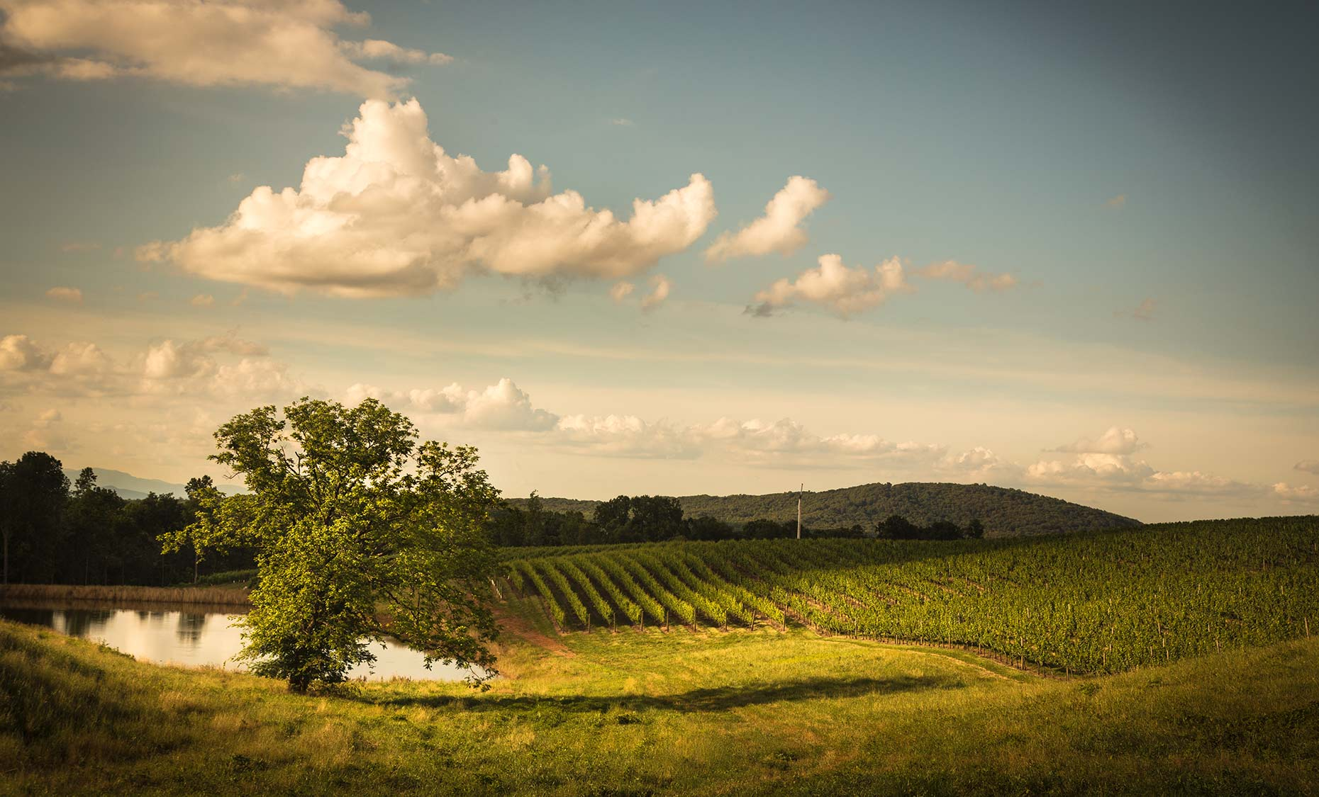 vineyard, pond, wine, vines, hills